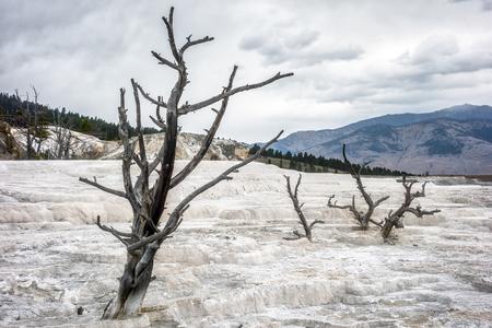 arboles secos: �rboles muertos en Mammoth Hot Springs