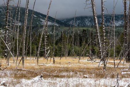 arboles secos: Árboles muertos en Yellowstone