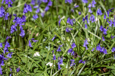 tubular flowers: Bluebells Brightening up the Sussex Landscape