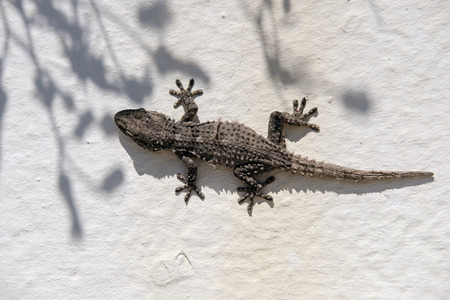 pino: European Common Gecko Resting on a Wall at Cabo Pino Spain