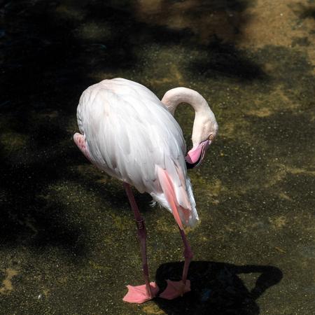 phoenicopterus: Greater Flamingo (Phoenicopterus roseus) at the Bioparc Fuengirola