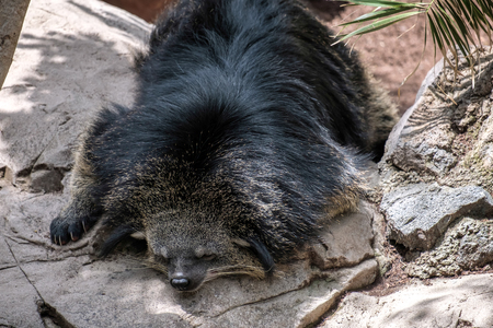 slumberous: Binturong (Arctictis binturong) asleep at the Bioparc in Fuengirola Stock Photo