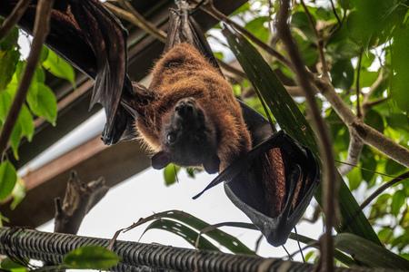 pteropus: Flying Fox Bat (Pteropus) Asleep at the Bioparc in Fuengirola Stock Photo