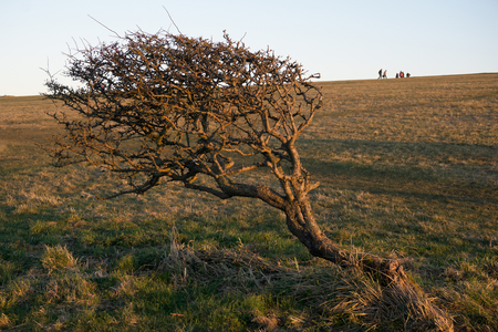 prevailing: Tree on the South Downs bent over due to prevailing winds Stock Photo