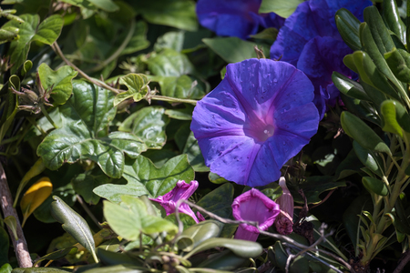 bindweed: Mallow-leaved bindweed (Convolvulus althaeoides) Stock Photo