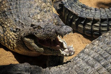 crocodylus: Nile Crocodile (Crocodylus niloticus) at the Bioparc Fuengirola Stock Photo