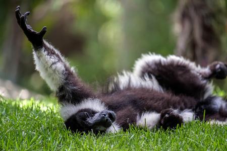 and diurnal: Black-and-White Ruffed Lemur (Varecia variegata)
