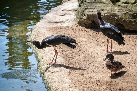 ciconiiformes: Abdims Stork at the Bioparc in Fuengirola
