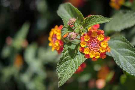 lantana camara: Lantana Camara shrub in Cabo Pino Spain Stock Photo