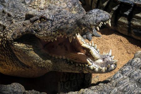 the nile: Nile Crocodile (Crocodylus niloticus) at the Bioparc Fuengirola Stock Photo