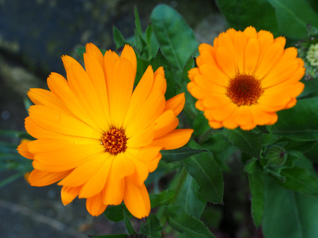 southwold: Orange Mesembryanthemums Flowering near the Beach in Southwold Stock Photo