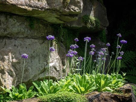 Scabious Flowers Growing in the Garden at Hever Castle