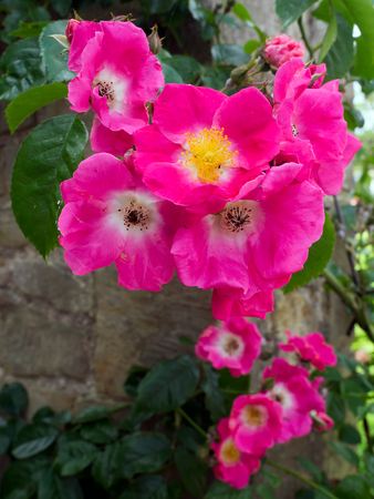 cultivated: Cultivated Ornamental Dog Rose Stock Photo