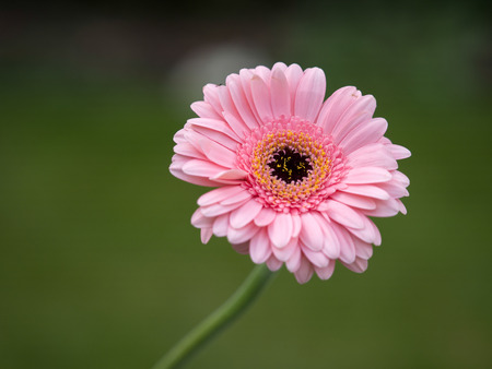 Pink Gerbera (Asteraceae) Stock Photo