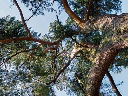 grinstead: Cedar Tree Bathed in Sunshine in East Grinstead