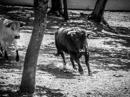 steers: Bulls Running at a Farm near Ronda