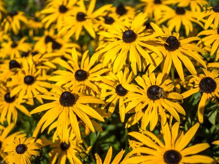 susan: Black-eyed Susan flowers in an English country garden