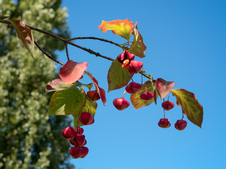 distinctive: Spindle Tree with distinctive fruit