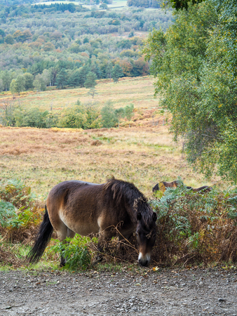 weald: Exmoor Pony Grazing in the  Ashdown Forest in Autumn