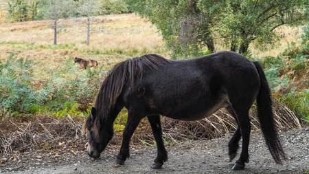 weald: Exmoor Pony in the  Ashdown Forest in Autumn