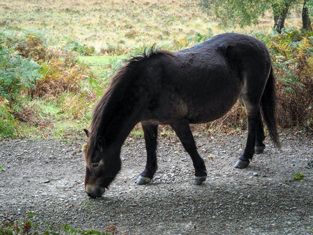 Exmoor Pony in the  Ashdown Forest in Autumn