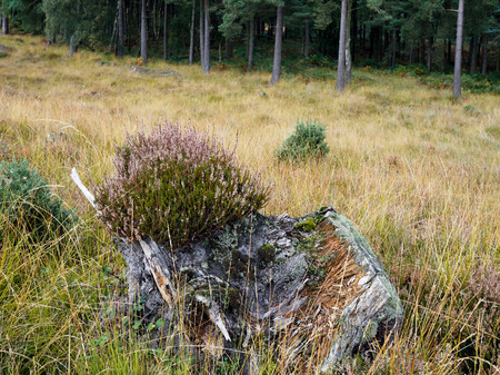 weald: Heather Growing on a Tree Stump in the Ashdown Forest in Autumn Stock Photo