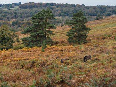 weald: Exmoor Ponies Grazing in the  Ashdown Forest in Autumn Stock Photo