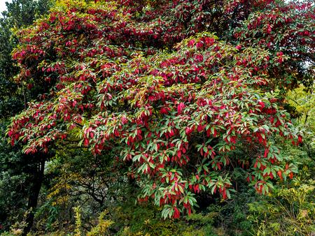 isles: Photinia davidiana Leaves Turning Red