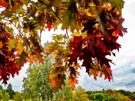 Red Oak Tree (Querus rubra)