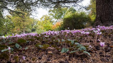 mauve: Wild Cyclamen (Persicum) in full bloom