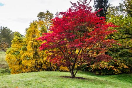 Japanse esdoorn (Acer palmatum) in herfstkleuren