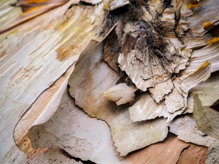 Schalen-Barke eines Birken-Baums im Herbst