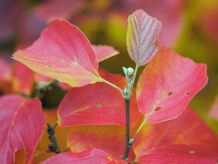 alder tree: Alder Tree Leaves Changing Colour in Autumn