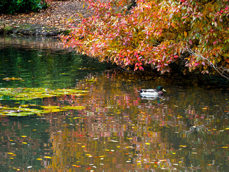 pato real: Mallard  and Tree Leaves Changing Colour in Autumn Foto de archivo