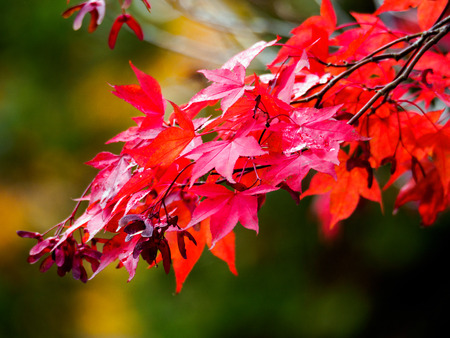 acer: Acer Tree Leaves Changing Colour in Autumn Stock Photo