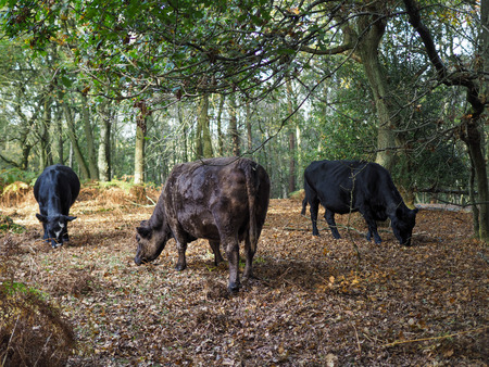 weald: Cows Grazing for Acorns in the Ashdown Forest