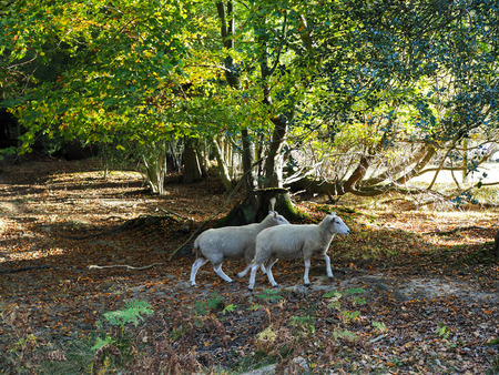 Sheep Wandering in the Ashdown Forest Stock Photo
