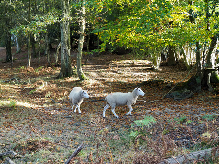 weald: Sheep Wandering in the Ashdown Forest Stock Photo