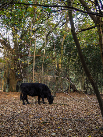 Cow Grazing for Acorns in the Ashdown Forest Stock Photo