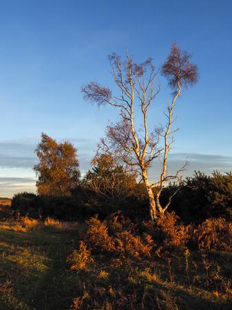 weald: Sunlit Silver Birch Tree in the Ashdown Forest Stock Photo