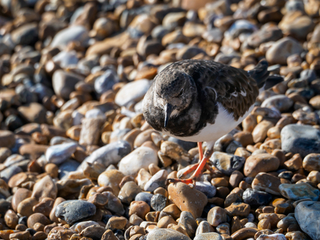 Ruddy Turnstone (Arenaria interpres) on the Beach in Hastings