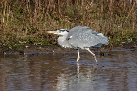 gray herons: Grey Heron (Ardea cinerea) at the Waters Edge