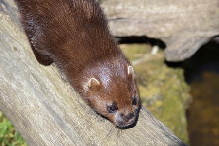 Close-up shot of an European Mink (Mustela lutreola)