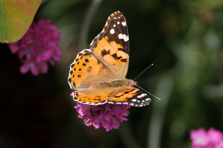 vanessa: Close-up of a Painted Lady (Vanessa cardui) Butterfly Stock Photo