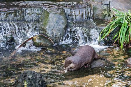 aonyx cinerea: Asian Small-clawed Otter (Aonyx cinerea syn. Amblonyx cinereus) Stock Photo