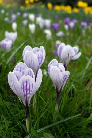 grinstead: Crocuses Flowering in East Grinstead