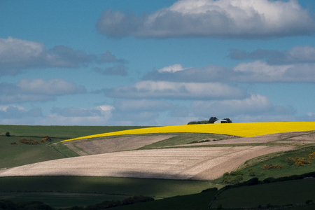 Rapeseed in the Rolling Sussex Countryside