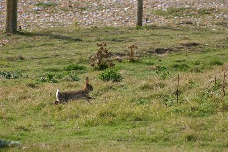 pastureland: Hare on Pastureland at Rye in Sussex