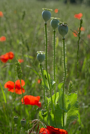 A Field of Poppies in Kent Stock Photo