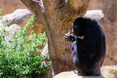 FUENGIROLA, ANDALUCIASPAIN - JULY 4 : Chimpanzee resting in the Bioparc in Fuengirola Costa del Sol Spain on July 4, 2017